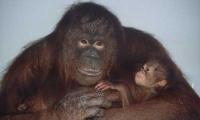 Nový člen rodiny. Adoptovaná orangutanice Nuninka.          (ZOO Ústí nad Labem)